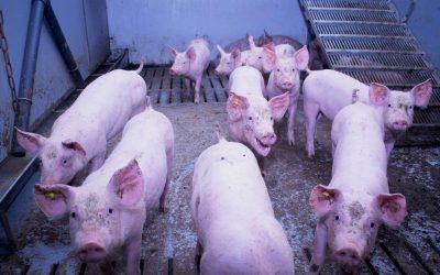 De gevolgen van zuren in water en voer voor de varkensstal