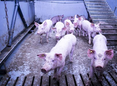Vleesvarkenstal