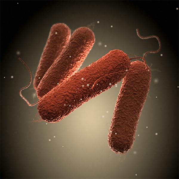 salmonellose bacterie