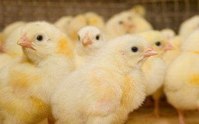 Minder antibioticagebruik in pluimveehouderijen mogelijk